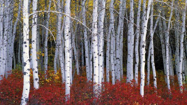 Fall Season Computer Wallpaper Birch Images Free Download Pixelstalk Net