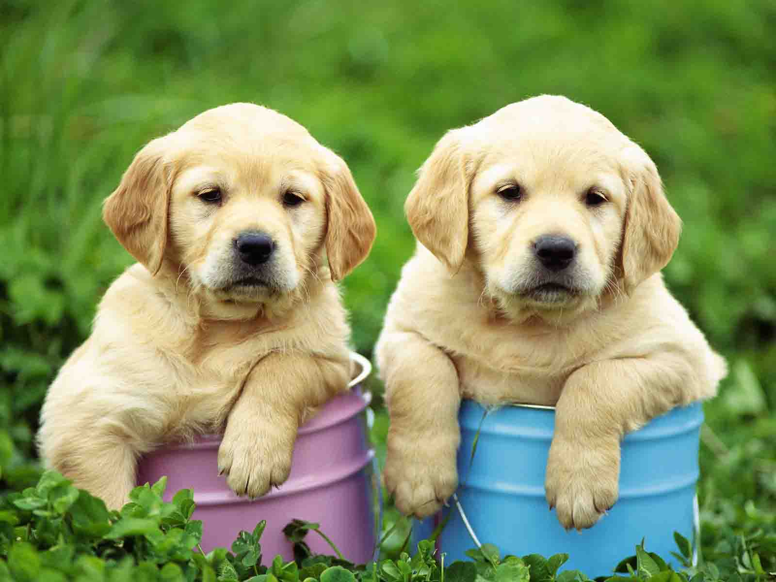 hd cute puppy backgrounds
