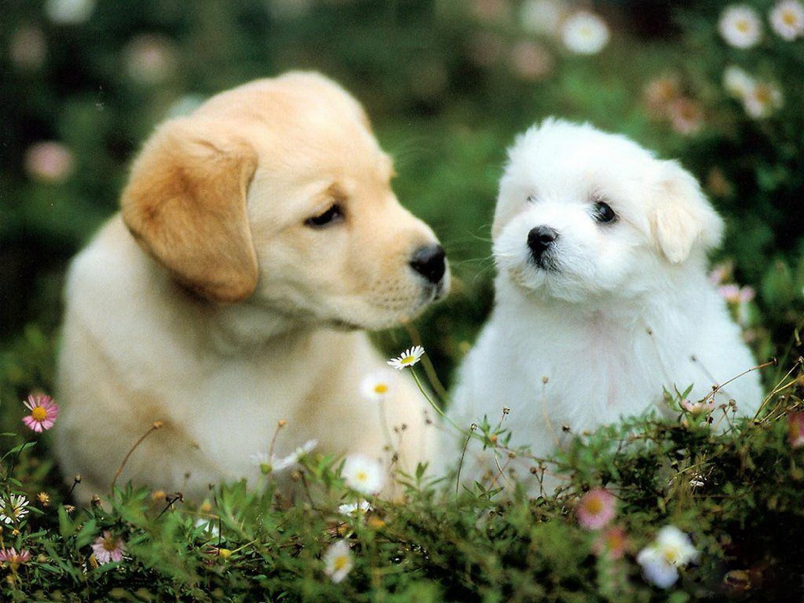 Cute Puppy HD Wallpapers | PixelsTalk.Net