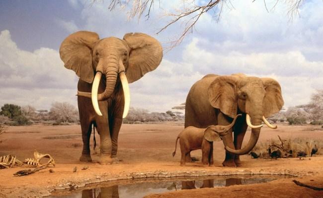 Elephant Wallpapers Hd Pixelstalk Net