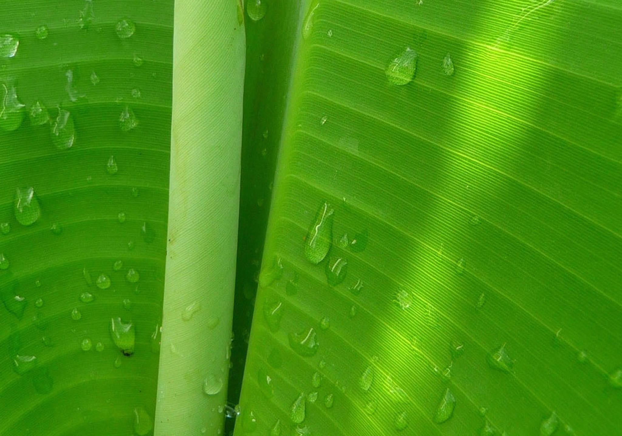 Best Quotes Wallpapers Hd For Desktop Banana Leaf Wallpapers Hd Pixelstalk Net