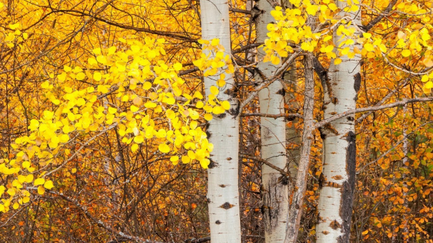 Free Desktop Wallpaper Fall Trees Aspen Tree Wallpapers Hd Pixelstalk Net