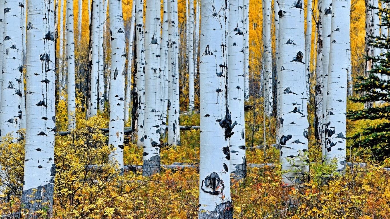 Fall In Colorado Wallpaper Aspen Tree Wallpapers Hd Pixelstalk Net