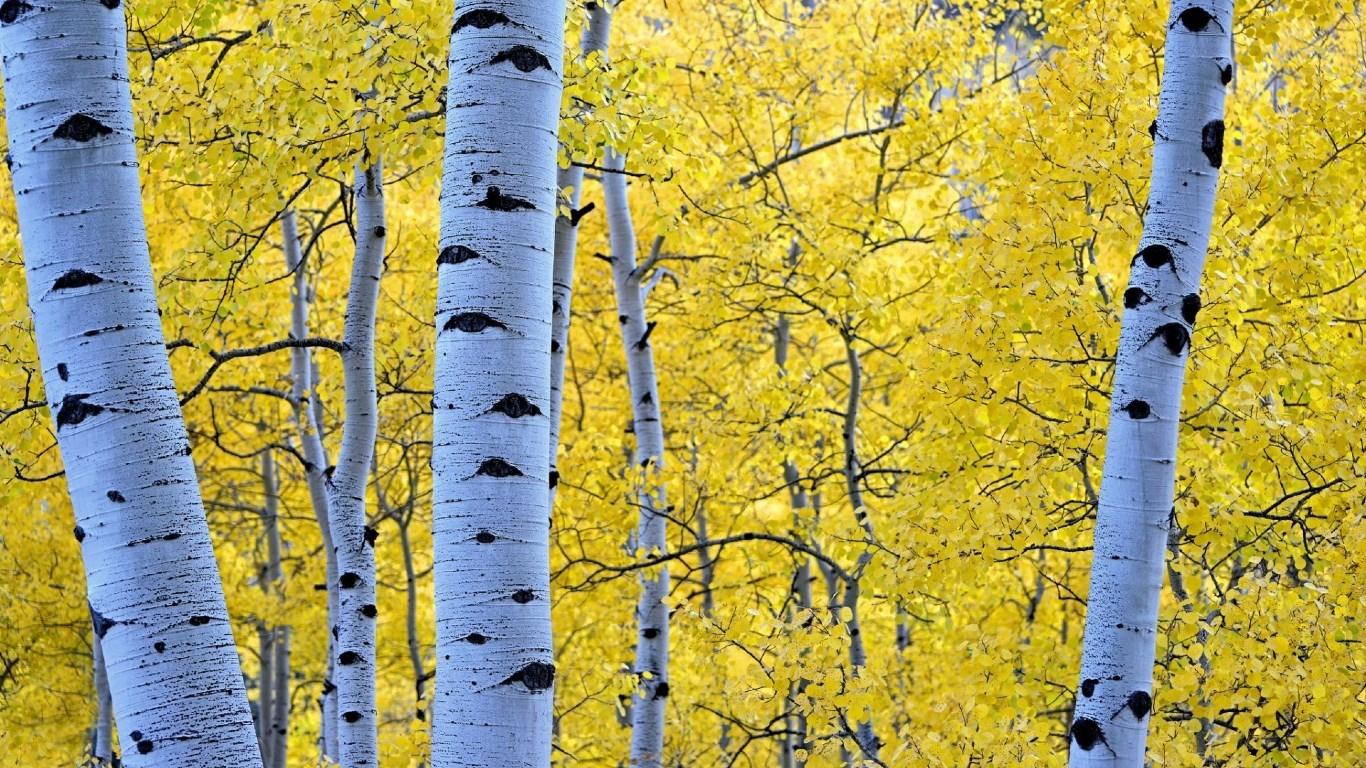 Birch Tree Fall Wallpaper Aspen Tree Wallpapers Hd Pixelstalk Net