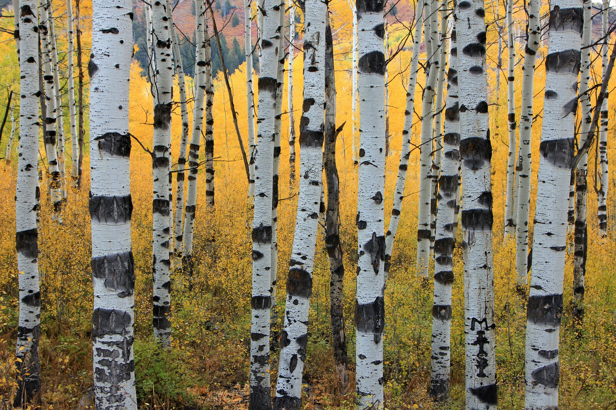 Hipster Fall Desktop Wallpaper Aspen Tree Wallpapers Hd Pixelstalk Net