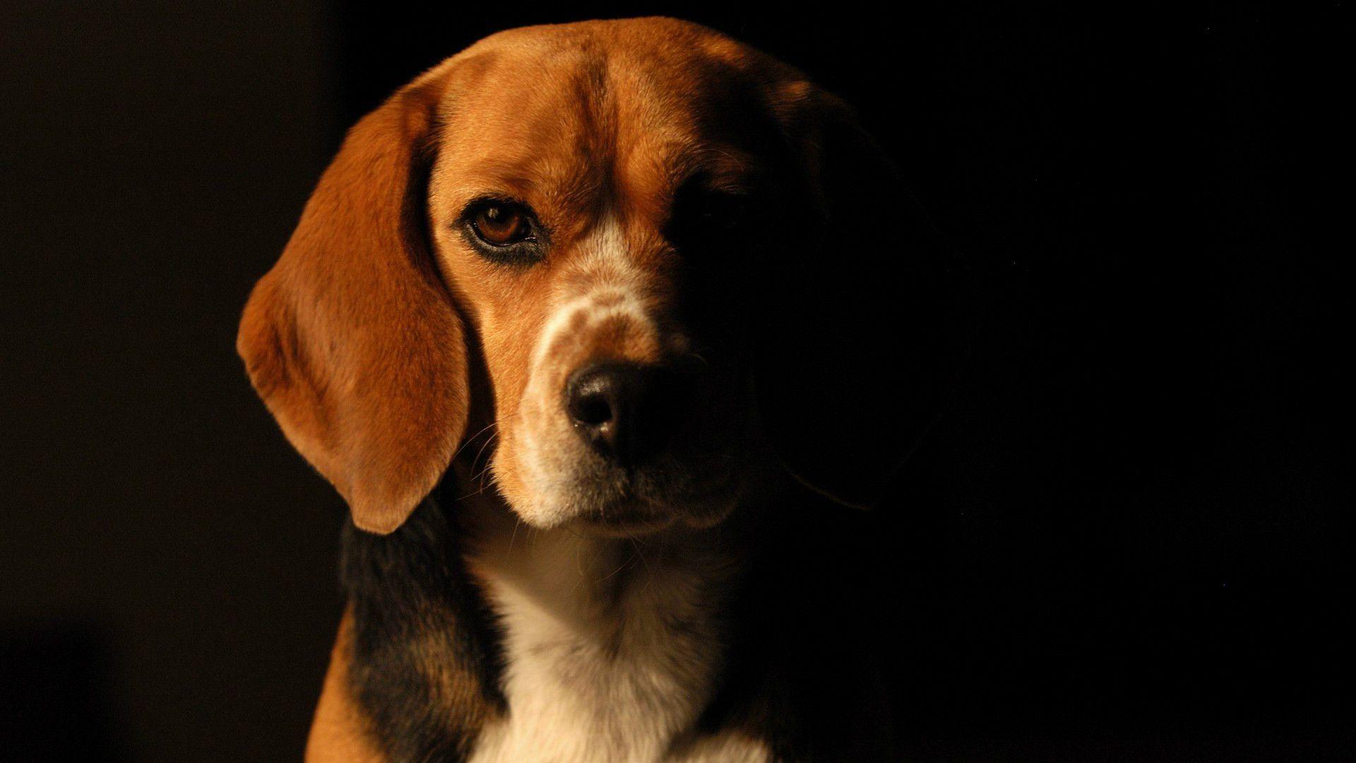 Cute Wallpapers 1080p Beagles Beagle Hd Wallpaper Pixelstalk Net