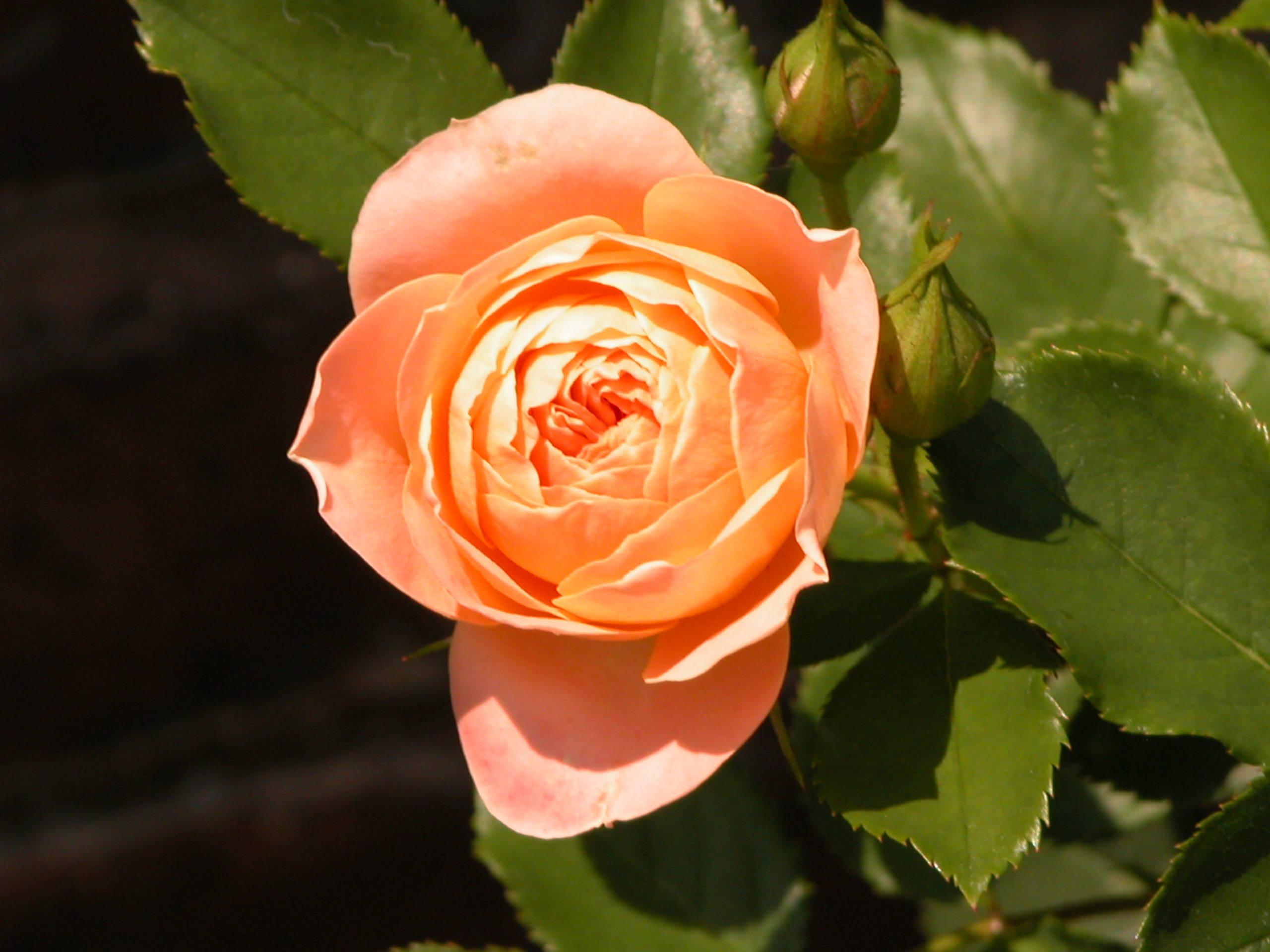 Rose Flower Garden Hd Wallpaper Cabbage Rose Wallpaper Hd Pixelstalk Net