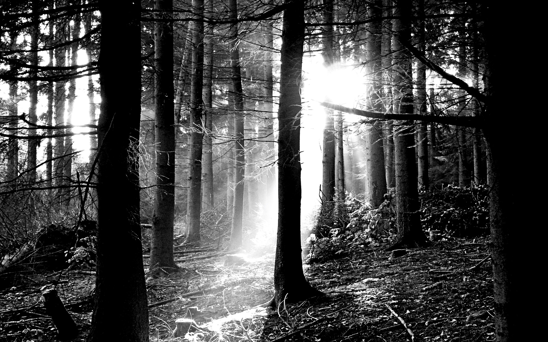 Download Free Black and White Forest Wallpaper  PixelsTalkNet