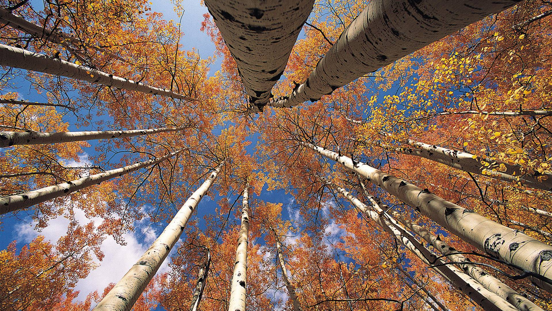 Beautiful Fall Wallpaper Desktop Aspen Tree Wallpapers Hd Pixelstalk Net