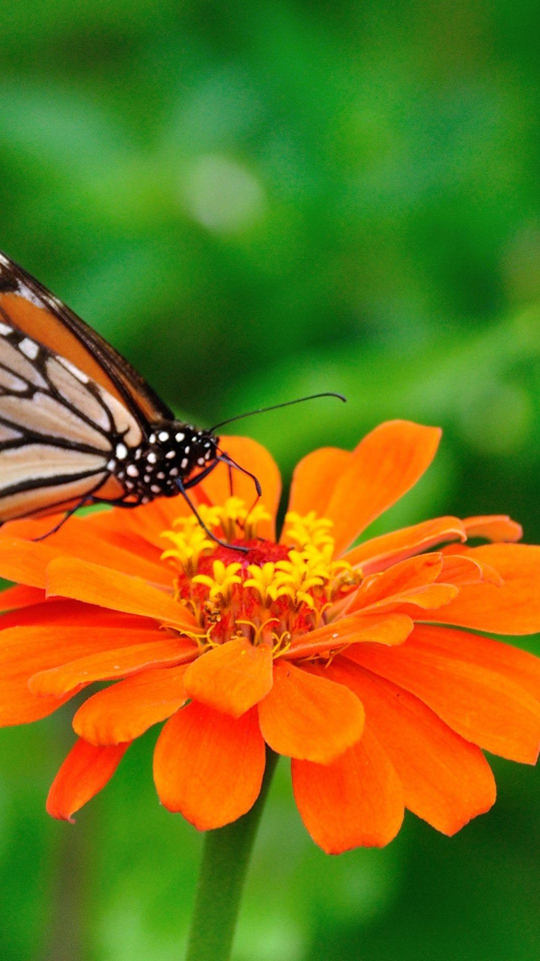 Hd Thanksgiving Wallpaper Free Butterfly Wallpaper For Android Pixelstalk Net