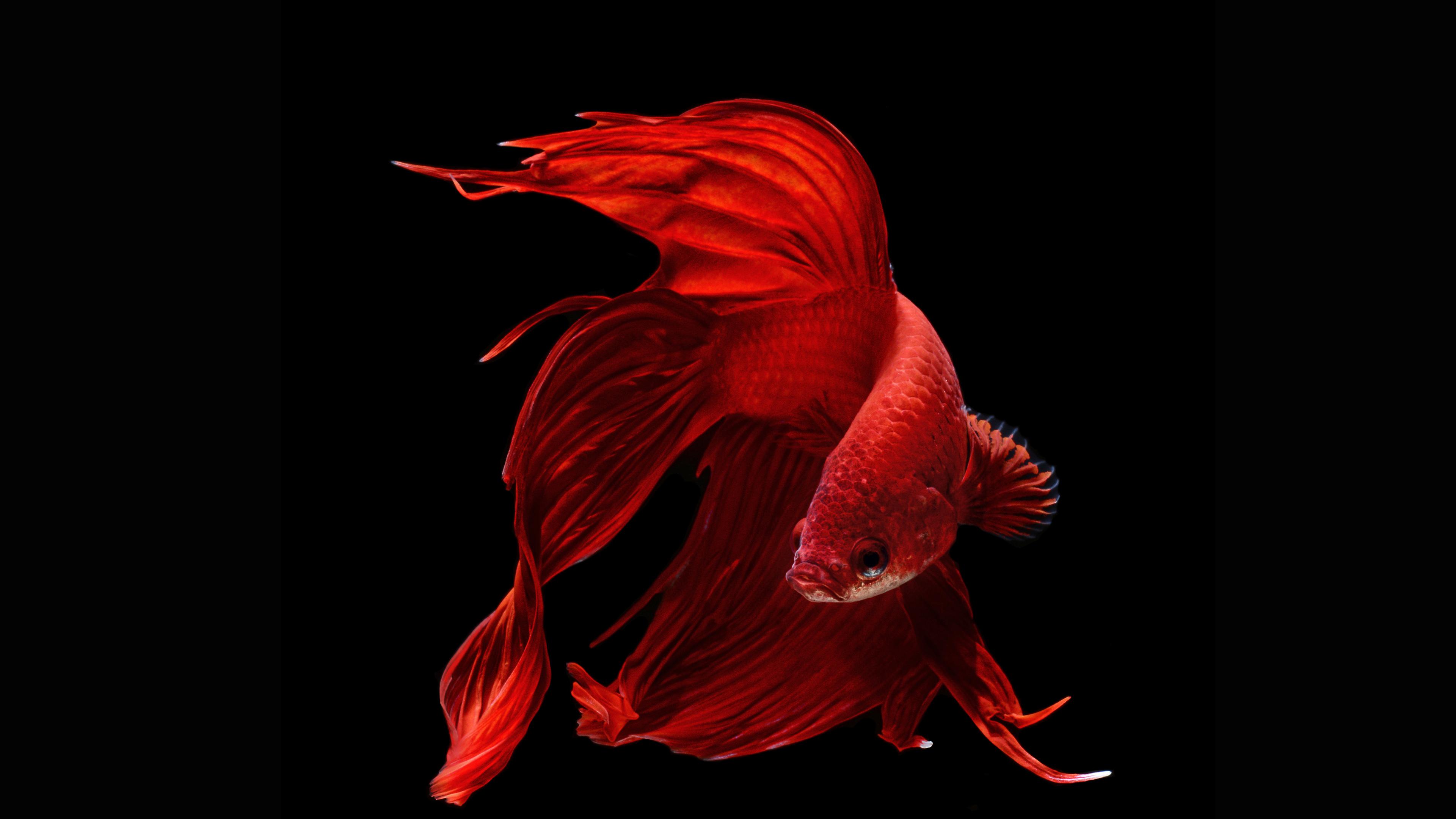 Betta Fish Wallpapers HD  PixelsTalkNet