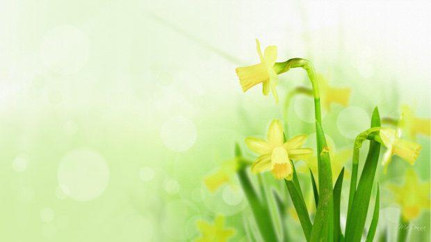 Cool Daffodil Background.