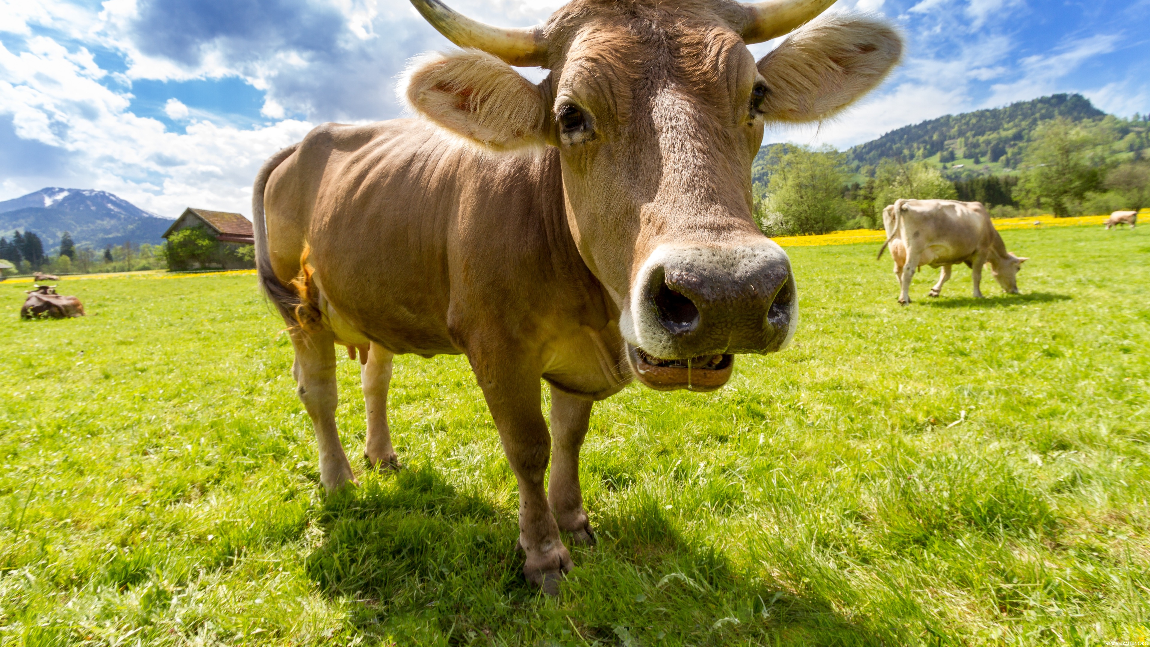 cow background free download