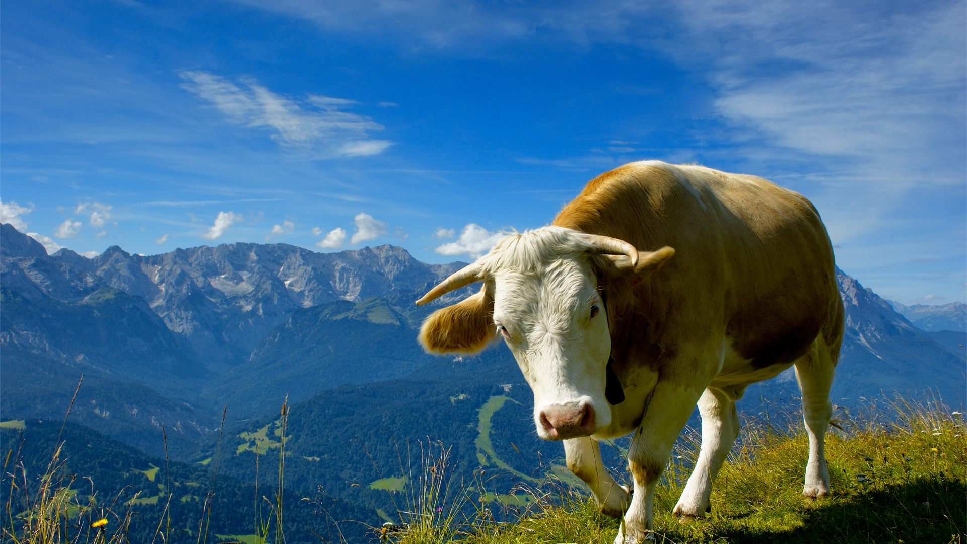 Funny Dog Iphone Wallpaper Cow Background Free Download Pixelstalk Net