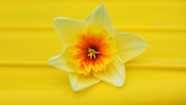 Daffodil Desktop Wallpaper.