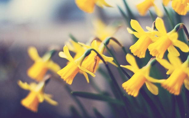 Daffodil Wallpaper Widescreen.