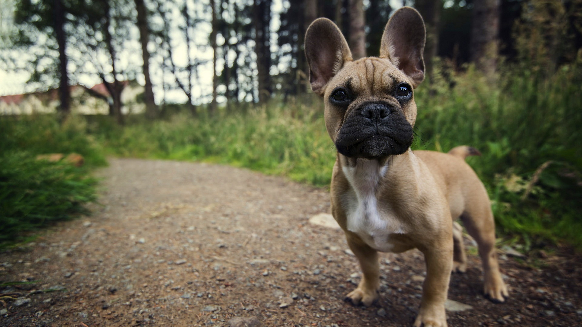 Download Hd Wallpapers Of Cute Puppies French Bulldog Wallpapers Hd Pixelstalk Net