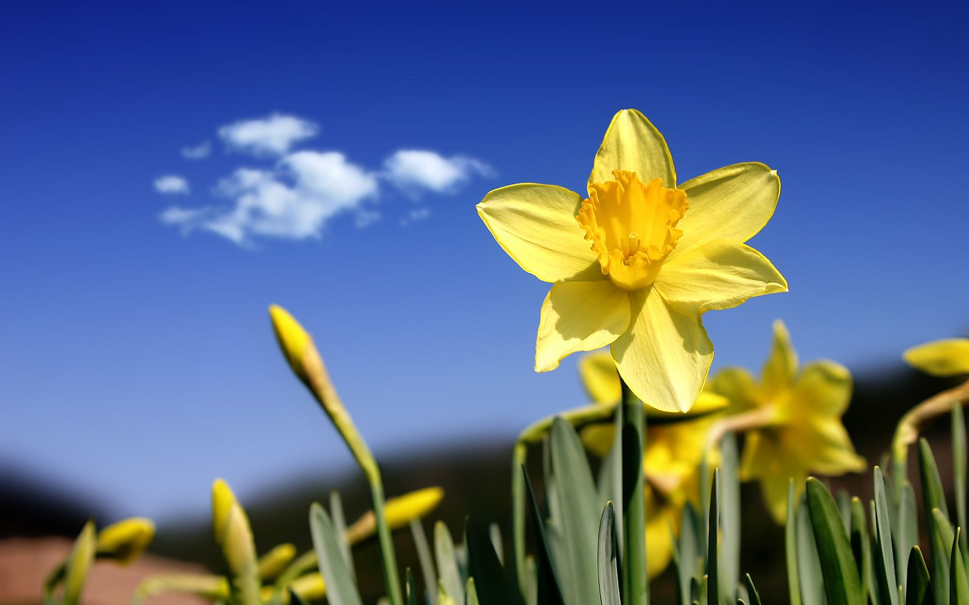 Full Hd 3d Wallpapers 1080p For Mobile Daffodil Wallpaper Free Download Pixelstalk Net