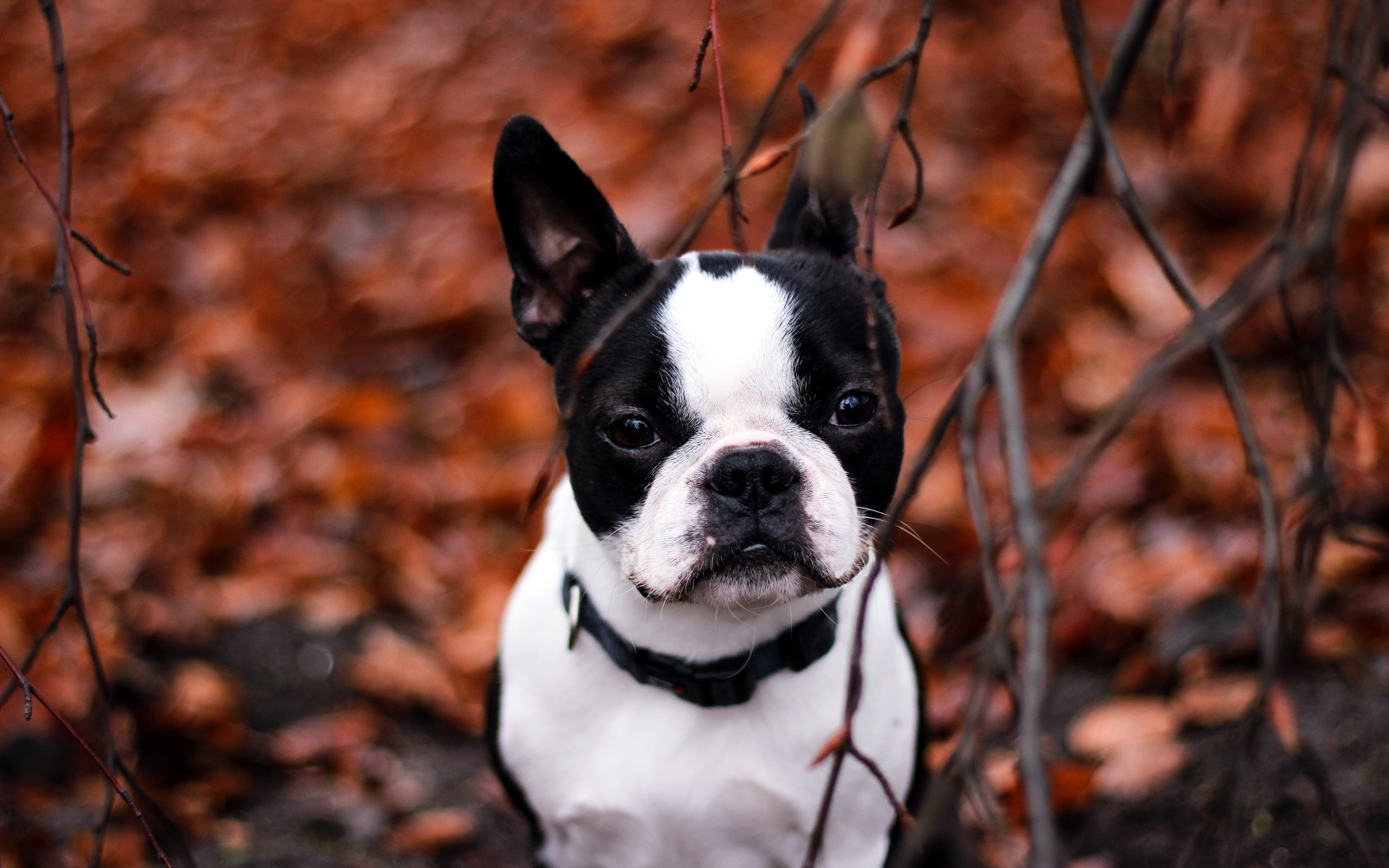 Cute Dog Background Wallpaper French Bulldog Wallpapers Hd Pixelstalk Net