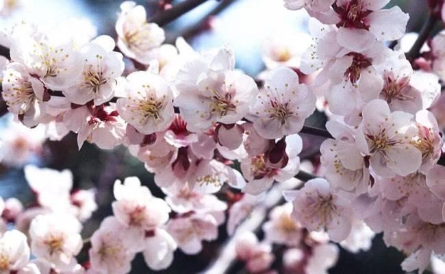 Cherry Blossom Iphone Background Download Free Pixelstalk Net