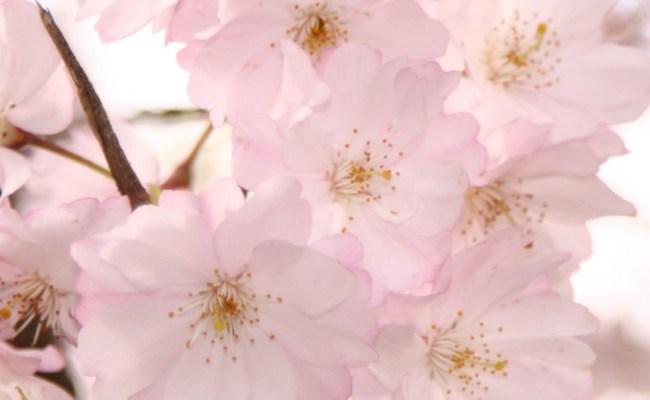 Cherry Blossom Iphone Hd Wallpaper Pixelstalk Net