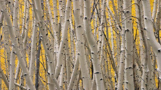 Computer Desktop Hd Wallpapers Fall Birch Tree Backgrounds Pixelstalk Net