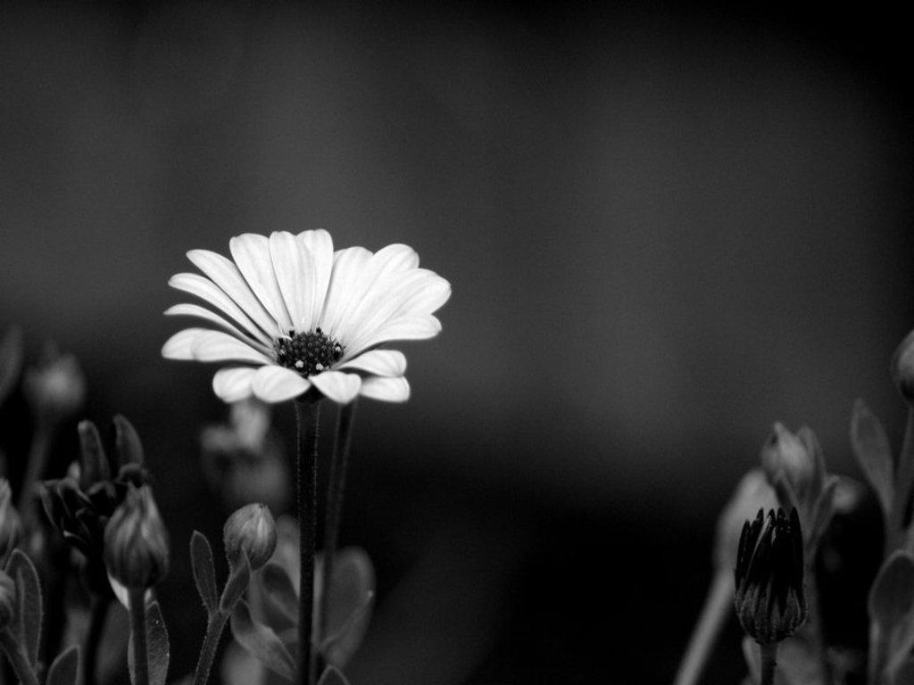 Black and white flowers wallpapers HD  PixelsTalkNet
