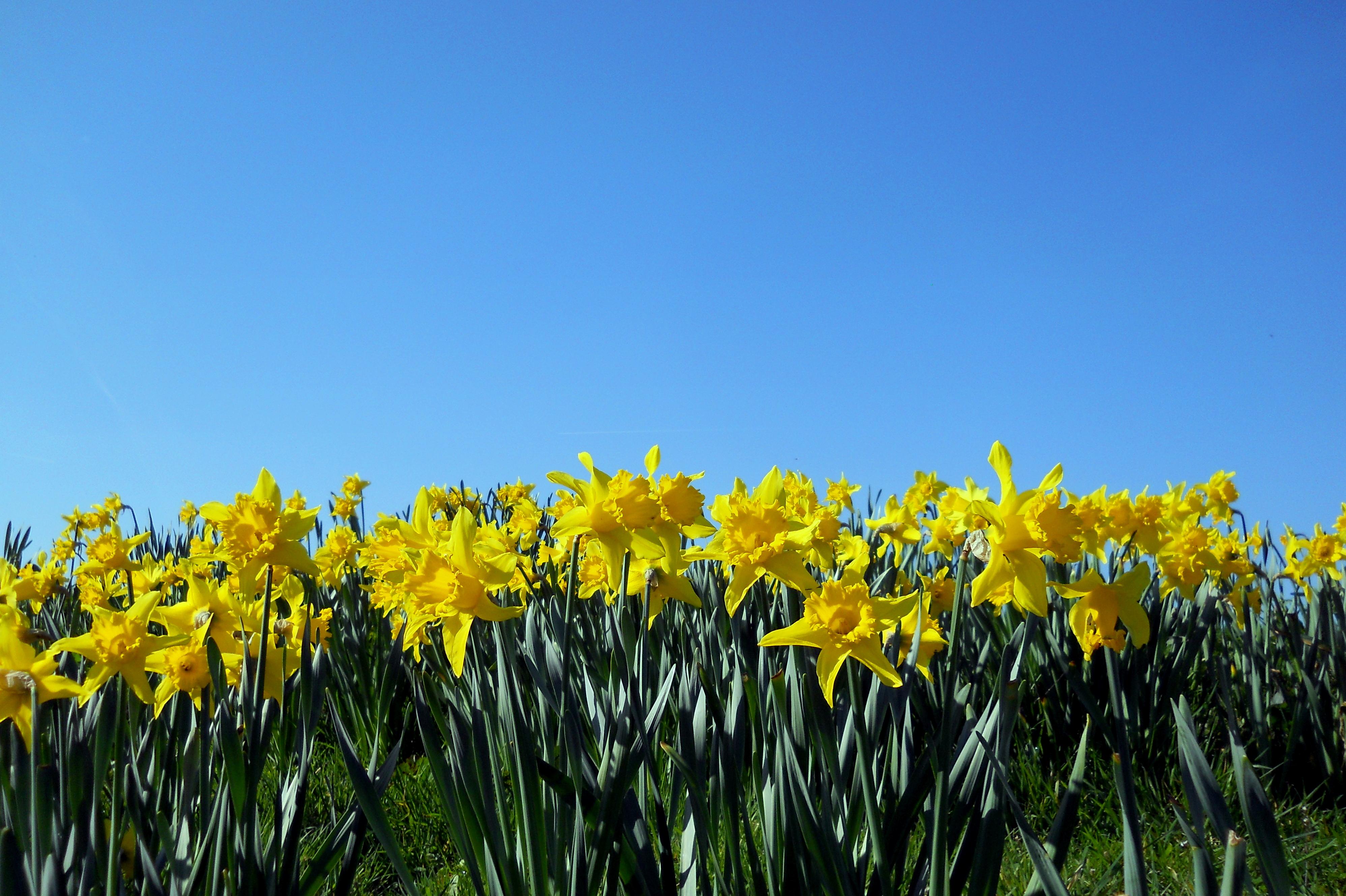 Hd 3d Nature Wallpapers 1080p Widescreen Daffodil Wallpaper Free Download Pixelstalk Net
