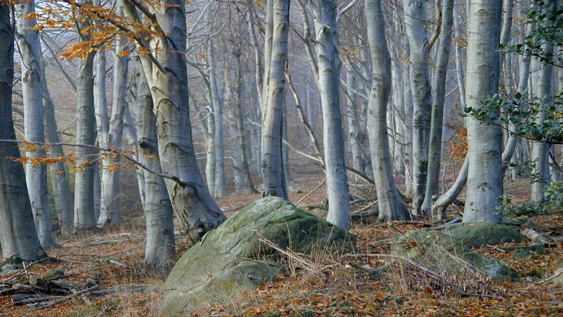 Fall Autumn Computer Wallpaper Birch Tree Backgrounds Pixelstalk Net