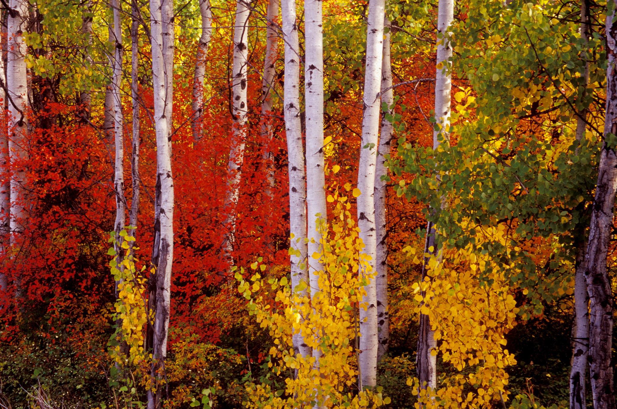 Fall Aspens Wallpaper Birch Tree Wallpapers Pixelstalk Net