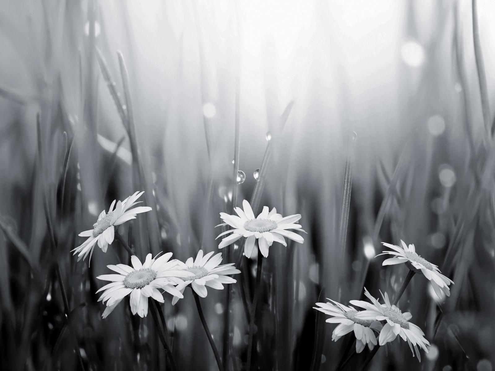 Raindrops Falling On Flowers Wallpaper Black And White Flowers Wallpapers Hd Pixelstalk Net