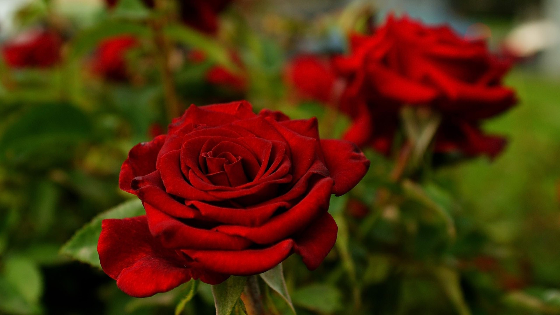 red rose desktop backgrounds