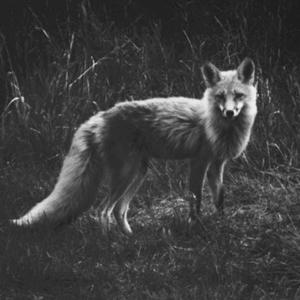 The Sacred Invisible   Fox Medicine   SouLodge