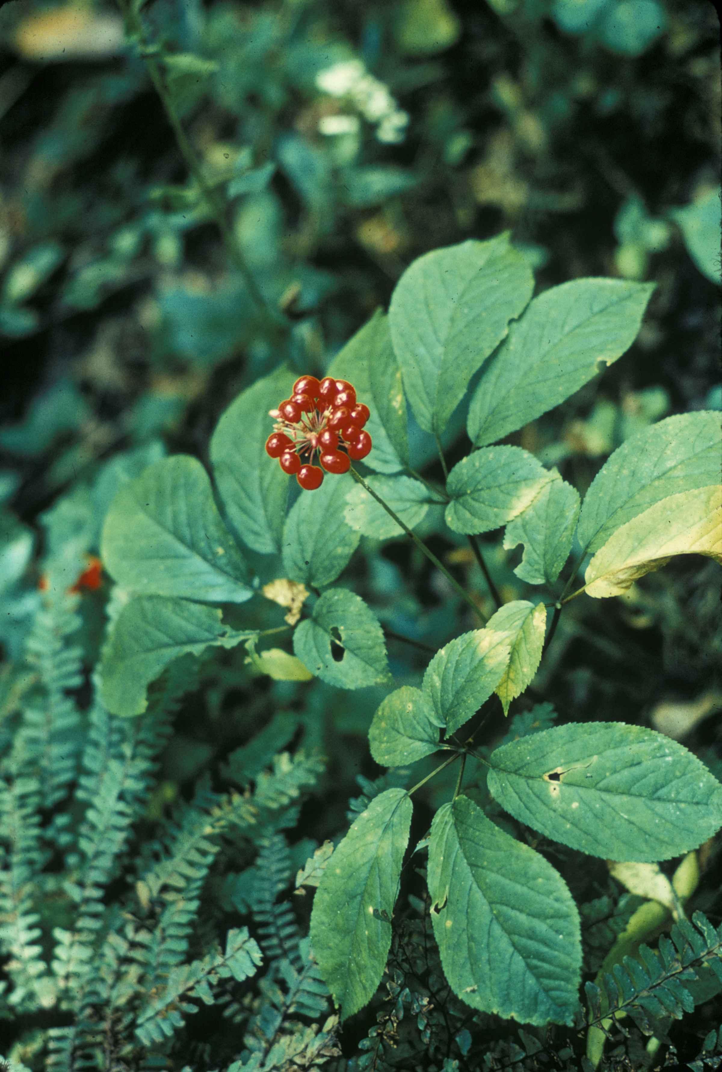 Free picture: ginseng American plant panex quinquefolius