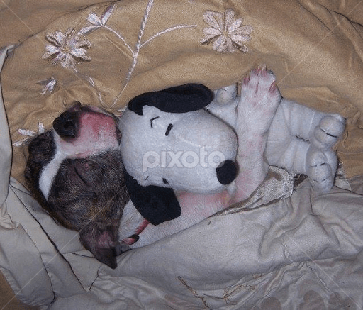 our narcoleptic boston terrier