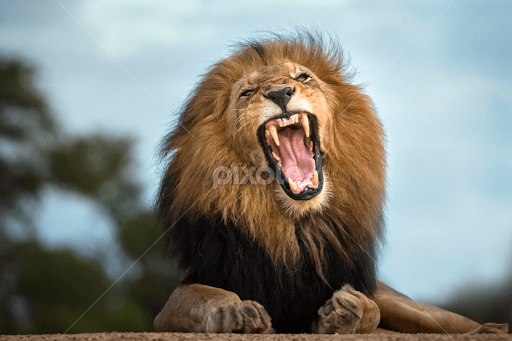 angry lion lions tigers