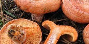 I funghi rositi (lactarius deliciosus). Dove e quando trovarli e come prepararli