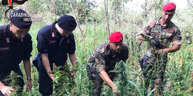 Piantagione di marijuana scoperta e sequestrata a Pizzo, una denuncia – Zoom24