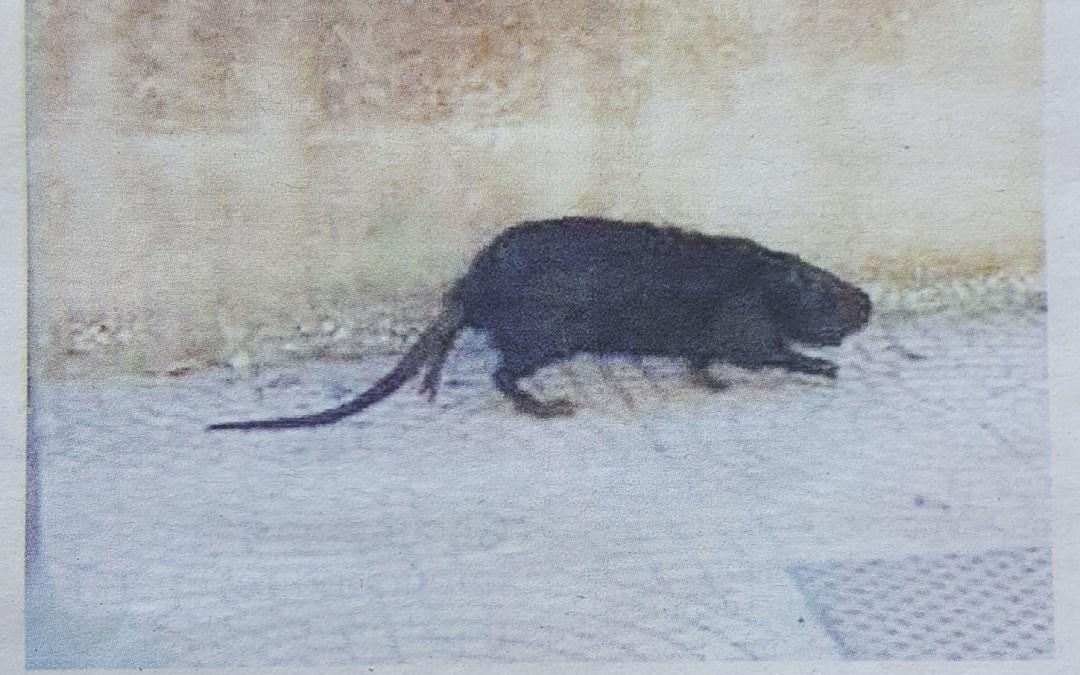 Animali banchettano tra i rifiuti. Dopo i cinghiali e' il turno dei topi.