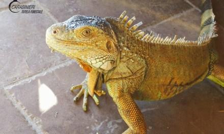 Esemplare di iguana in casa, sequestrato – Calabria