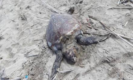 Pizzo, ennesima carcassa di tartaruga marina rinvenuta sulla spiaggia