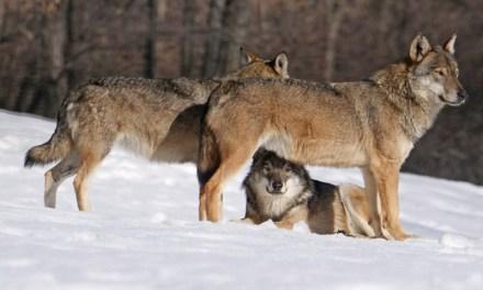 Torre di Ruggiero, branco affamato di lupi sgozza cinque pecore