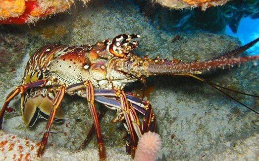 Pesca: «Il mare della Calabria habitat naturale per le aragoste»