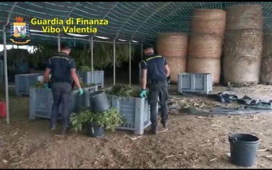 Seicento chili di marijuana in una azienda agricola di Pizzo: 5 arresti – Gazzetta del Sud