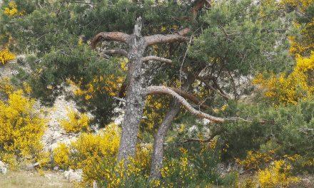 02/06/2021 Straordinarie immagini di un fenomeno della natura calabrese: una coppia di pini avvinghiati in un appassionata danza celeste di Giuseppe Pagnotta.
