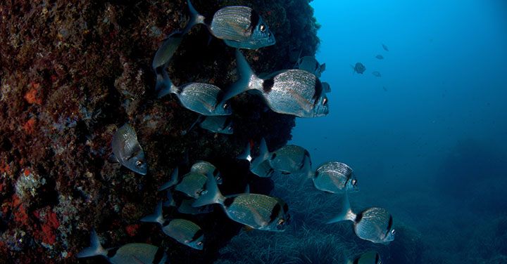 Meet the Two Banded Seabream