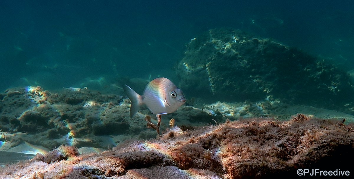 Spearfishing in Mallorca – What you need to know #3: Fish and Sustainability
