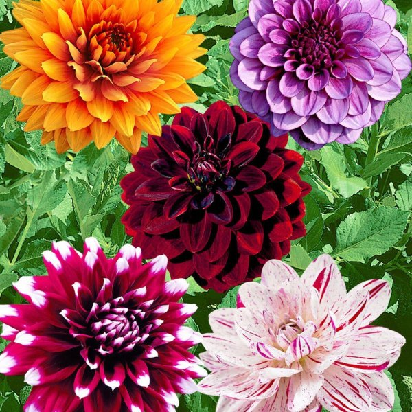 Dahlia Mix Flowers Seeds