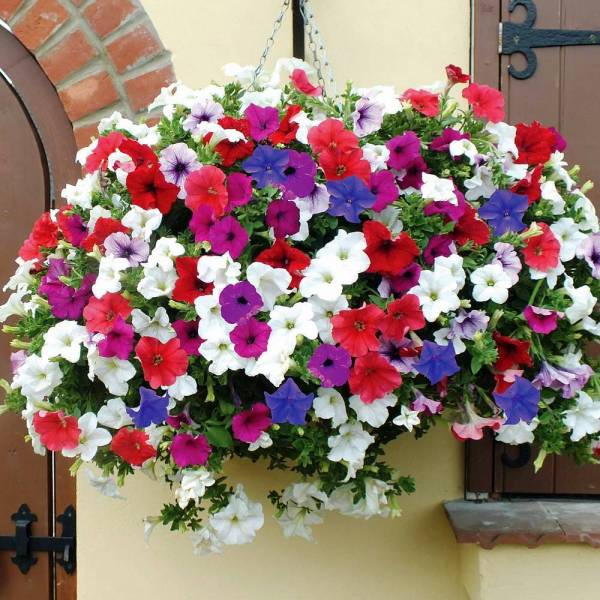 Petunia Hanging Mix Flowers Seeds