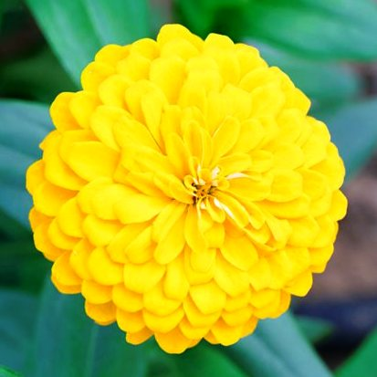zinnia yellow flower seeds